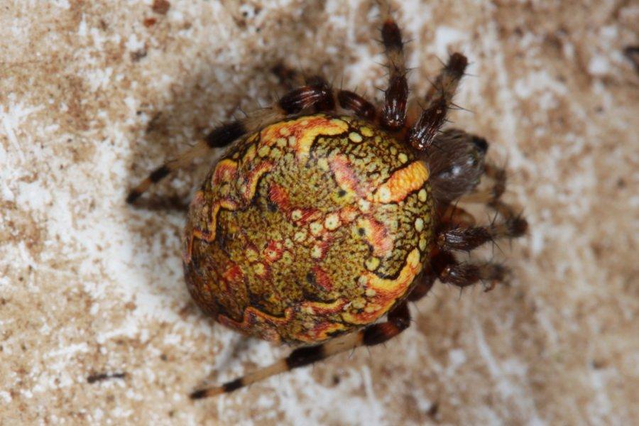 Marmoriristihämähäkki